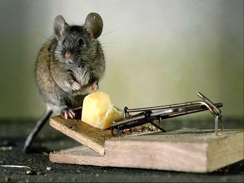 Мышеловки для мышей